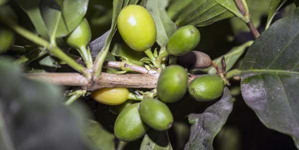 caffe grani arabica